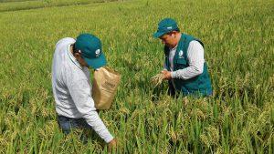 Senasa - Monitoreo preventivo en cultivos de arroz