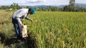 Senasa - Monitoreo preventivo en cultivos de arroz en San Martin