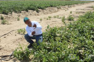 Senasa - Vigilancia fitosanitaria en campos semilleros de frijol Caupí en Íllimo