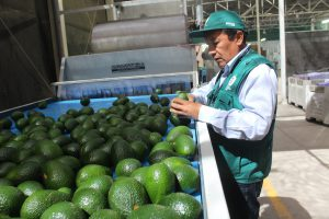 Senasa certificó más de tres mil toneladas de palta para exportación