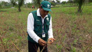 Senasa fortalece acciones de erradicación contra Gusano Cachón de la Yuca