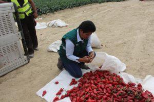 Senasa inspecciona cultivo de Capsicum para su comercio en mercados nacionales