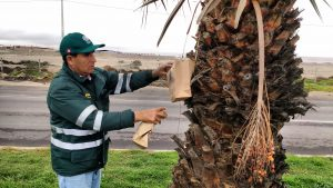 Senasa libera 20 millones de moscas de la fruta estériles cada semana