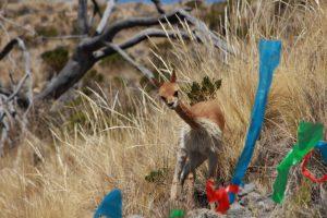 Senasa realiza evaluacion sanitaria de vicuñas