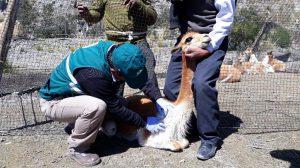 Senasa realiza evaluacion sanitaria de vicuñas - Serfor