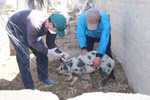 Senasa supera meta de vacunación de cerdos contra la peste porcina clásica