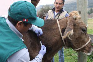 Senasa vacunó más de 16 mil cabezas de ganado para prevenir carbunco sintomático en Junín