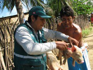 Senasa vacuna más de doce mil cerdos contra la peste porcina clásica en Tumbes