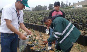 Senasa - Monitoreo de roya en cultivos de arándano de provincias de Huaura y Barranca