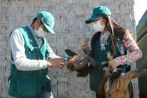 Senasa vacunó más 168 mil aves contra enfermedad de Newcastle