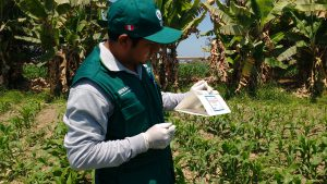 Senasa - Monitoreo preventivo de Helicoverpa armiguera en cultivos de maíz y pallar
