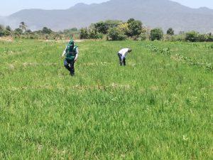 Senasa - Vigilancia fitosanitaria de añublo bacteriano del arroz en predios pilotos