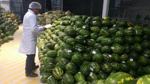 Senasa certifica 30 toneladas de sandía para su exportación a Chile