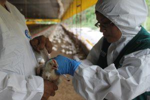 Senasa colecta muestras serológicas para evaluar condición sanitaria de aves