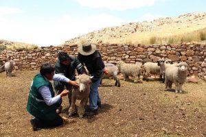 Senasa - COmercializacion de ovinos y caprinos