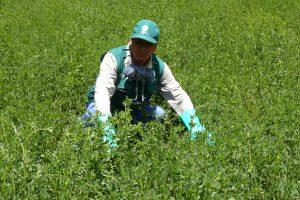 Senasa - Plaga de langosta bajo control en zonas endémicas de Huancavelica