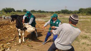 Senasa - Registro de vacunación contra Ántrax supera las 59 mil cabezas de ganado