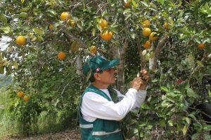 Senasa certifica más de mil toneladas de naranja con destino a Costa Rica