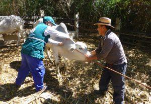 Senasa ejecutará campaña de vacunación en beneficio de doscientos productores de Andahuaylas