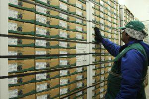Senasa inspecciona y supervisa tratamiento en frío de arándanos con destino a EE.UU. y China