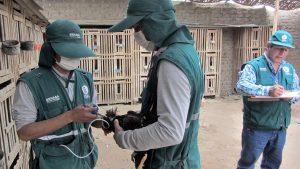 Senasa vacuna más de 390 mil aves para prevenir enfermedad de Newcastle