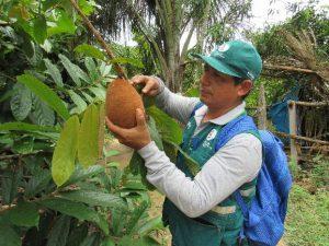 Vigilancia fitosanitaria en cultivos de cacao y copoazu en Madre de Dios - Senasa