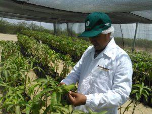 Piura - Senasa inspecciona instalación de 39 mil varas yemeras de mango provenientes de Israel