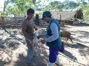 SENASA - No se registraron casos de peste porcina clásica en Ucayali durante 2017