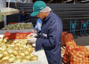 Senasa - Arequipa certificó más de cuatro mil toneladas de cebolla fresca para exportación