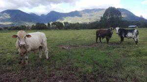 Senasa - Bovino atendido en Chontabamba - Oxapampa - Pasco