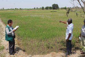 Senasa - Comisión Ad Hoc recomienda respetar el calendario de siembra de arroz para prevenir problemas fitosanitarios