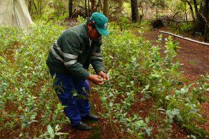 Senasa - Control biológico mantiene bajo control al pulgón del eucalipto