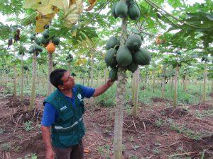 Senasa - Más de 56 mil toneladas de papaya inspeccionadas por Senasa en el 2017