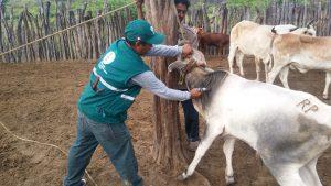 Senasa - Más de ocho mil bovinos contra carbunco sintomático en Tumbes
