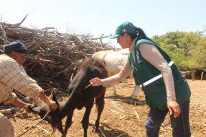 Senasa No se reportaron casos de animales infectados con Ántrax en el 2017