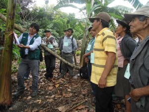 Senasa - Productores de plátano son reconocidos como expertos en manejo integrado de plagas