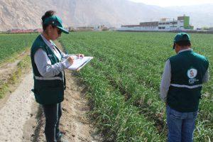 Senasa certificó más de cuatro mil toneladas de cebolla fresca para exportación
