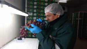Senasa certifica semanalmente 18 mil toneladas de uva para exportación