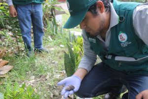 Senasa comprueba eficacia de acciones de control en Selva Central contra caracol