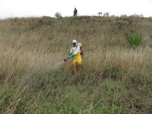 Senasa evalúa presencia de langostas en 3600 hectáreas de vegetación silvestre y cultivos en Cusco