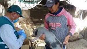 Senasa inició campaña de vacunación contra Peste Porcina Clásica