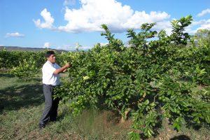 Senasa inspecciona 20 hectáreas de limón Tahití con fines de exportación