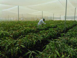 Senasa inspecciona instalación de 39 mil varas yemeras de mango provenientes de Israel
