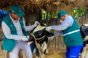 Senasa registra vacunación de más de 11 animales contra el ántrax