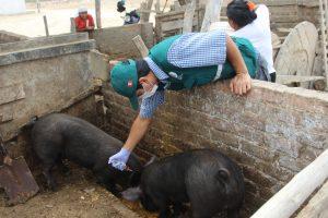 Senasa registra vacunación de más de 150 mil cerdos en el 2017