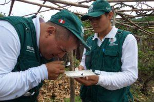 Senasa resguarda producción de uva de plagas cuarentenarias