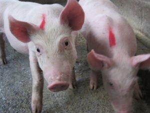 Senasa vacuna más de 33 mil animales contra la peste porcina clásica