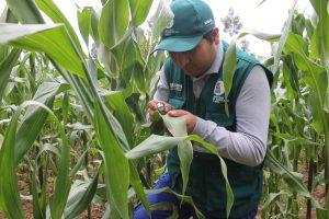 Senasa vigila cultivos de maíz en el Valle del Mantaro