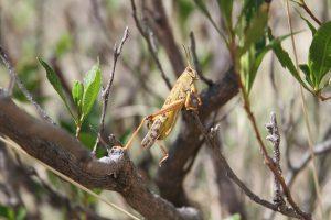 Senasa y agricultores de Huánuco mantienen bajo control plaga de langosta