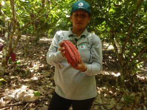 Senasa - Plagas en cultivos de cacao
